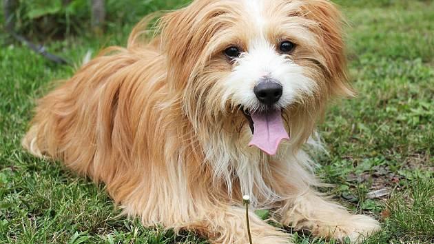 Dušan II. je nejspíše kříženec, asi tři roky starý pes, v kohoutku má 35 cm. Chlupáč byl nalezen zavřený v bytě. Pejsek je čipovaný, očkovaný a odčervený.