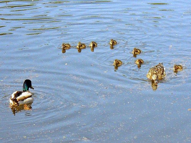 Kachny na zimovišti na Ohři v Žatci vyvedly první mladé