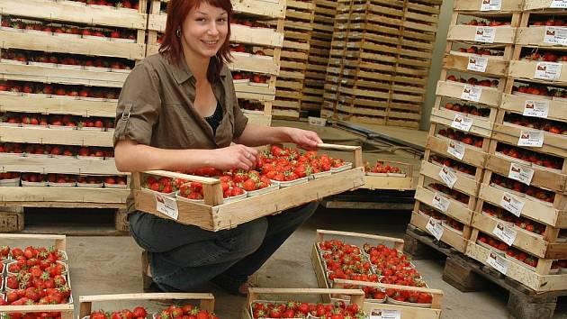 Michaela Filková upravuje vaničky s jahodami v klimatizovaném skladu v Hořeticích u Žatce.