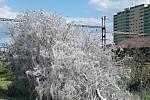 Za západním vlakovým nádražím v Žatci obalily několik stromů housenky
