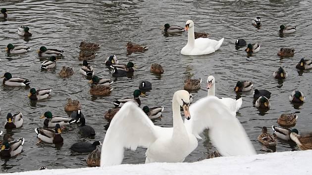 Kachny, labutě a lysky na zimovišti na Ohři  v Žatci