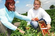 Tereza Bachmannová s maminkou Evou z Postoloprt si přijely nasbírat jahody na plantáž nad Žiželicemi na Žatecku.