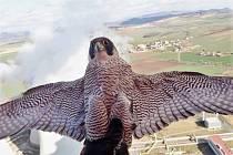 Překvapení bylo oboustranné, nakonec to byl ovšem ornitolog Václav Beran, kdo pro sokolí samici pořídil na ochozu komína v Elektrárně Počerady její asi zřejmě první selfíčko.