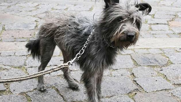 Barbucha je nejspíše kříženec, asi 5 let starý pes, v kohoutku 35 cm.