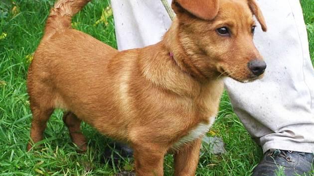 Zrzeček je nejspíše kříženec jezevčíka, asi rok starý pes, v kohoutku 30 cm. Pejsek je čipovaný, očkovaný a odčervený.