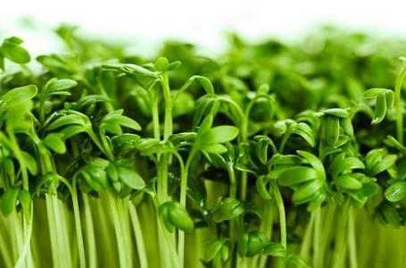 Řeřicha: Svěží chuť do salátů i na chleba