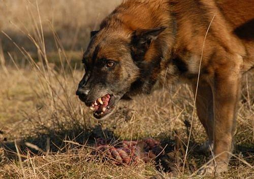 Zuřivý pes