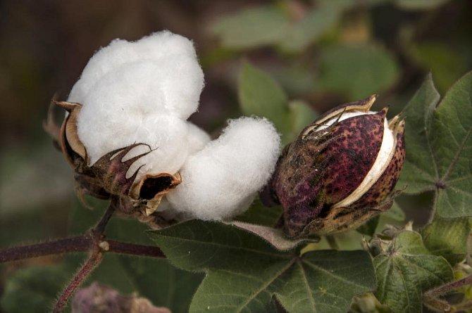 Ilustrační foto - semena bavlny