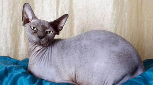 Hit mezi domácími mazlíčky: Vrásčitá kočka!