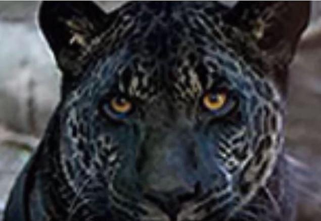 Jaguár/tygr