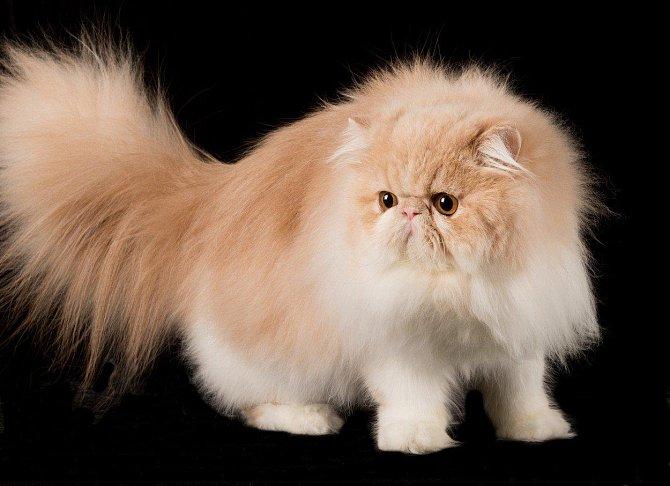 1. Perská kočka