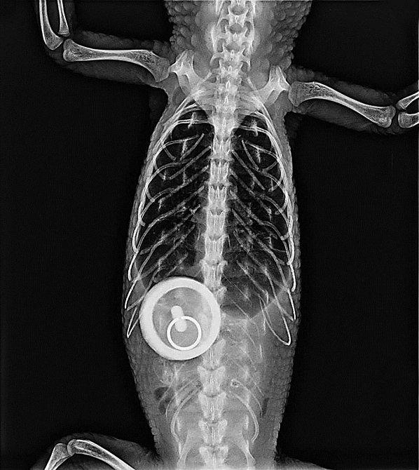 Sledujete rentgen krokodýla, který snědl během koupání ve vaně špunt...