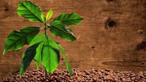 Vypěstujte si vlastní kávu