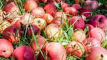 Nahnilé ovoce je pro octomilky nejlepší hostina.