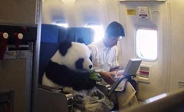 8. Panda v letadle svačící bambus se stala hitem internetu. Kdo by nechtěl cestovat vedle tak roztomilého zvířátka, že? Nakonec ale vyšlo najevo, že šlo o vtip a velmi zdařilý kostým.