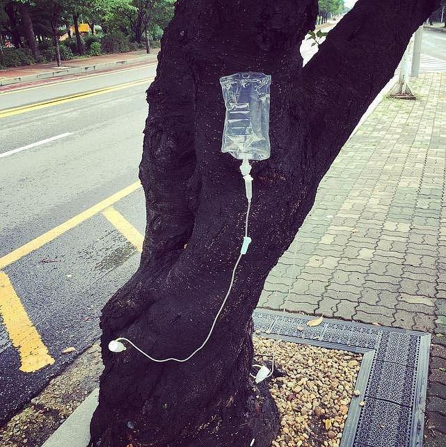 Takto korejské stromy přijímají hnojiva.