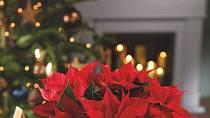 Vánoční hvězda k Vánocům patří.
