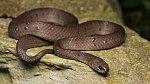 Ofidiofilie: Ofidiofily vzrušují hadi.
