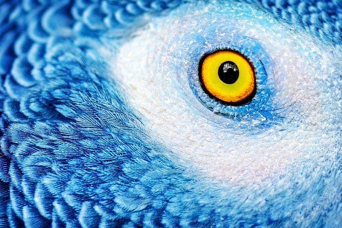 Modrý papoušek a jeho zrak.