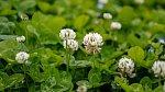 Jetel luční je jednou z bylin, která si s menopauzou poradí.