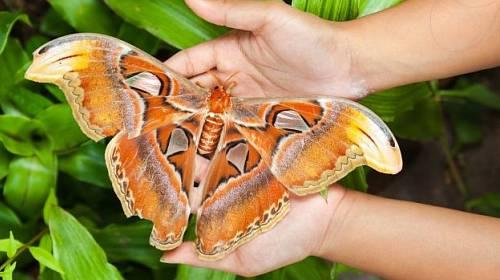 Attacus atlas. Největší motýl na světě.