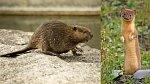 Ilustrační foto - bobr a lasička