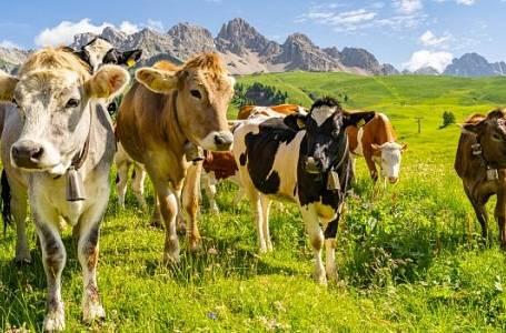 Reklamní idilický snímek ze života krav. Je to spíše ale vyjímka.