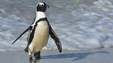 Dojemný příběh přátelství: Tento tučňák se snaží každý rok setkat s člověkem, který mu zachránil živ