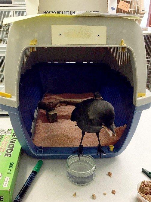 Toto mládě kavky spolklo pinzetu! Když veterinář viděl snímek a zjistil, jak velká ona pinzeta je, nevěřil, že to mládě přežije. Naštěstí se jej ale podařilo zachránit.
