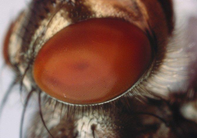 Blízký pohled do mušího oka.
