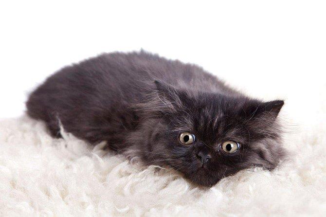 5. britská kočka