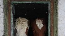KINOTIP: Bella Mia - Balada o kravách a lidech