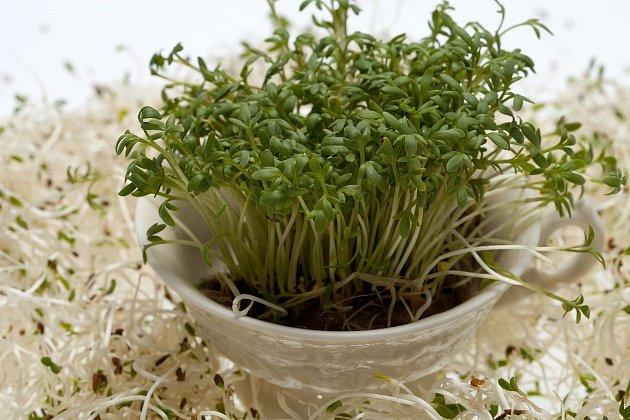 Řeřichu lze v bytě pěstovat celý rok