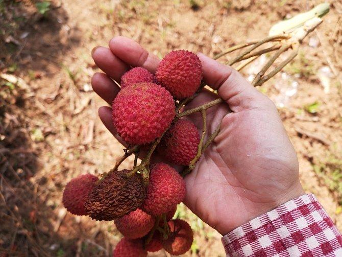 Liči patří mezi exotické ovoce, i tak je u nás běžně k dostání.
