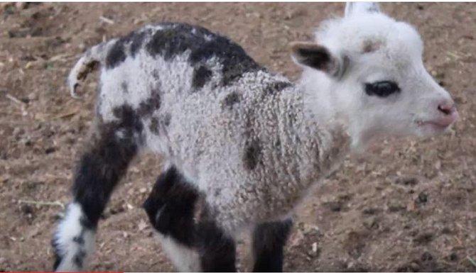 koza/ovce