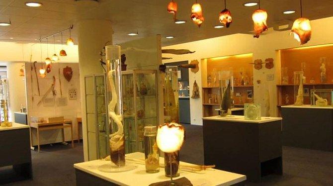 Nejvíce penisů - 300! Tolik druhů penisů mají v islandském muzeu penisů. Jsou tu vystavené nejrůznější penisy z celé zvířecí i lidské říše.
