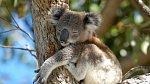 Koalové v ohrožení. Dokáže je Austrálie zachránit?