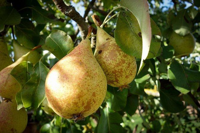 Hrušky žijí neprávem ve stínu jablek.