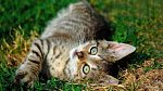 4. kočka domácí