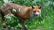Vzteklinu přenášejí hlavně divoká zvířata. Nemazlete se s nimi.