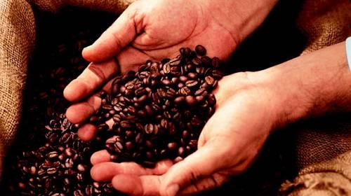 Záhada kávových třešní – Na jedné větvičce květy i zralé plody
