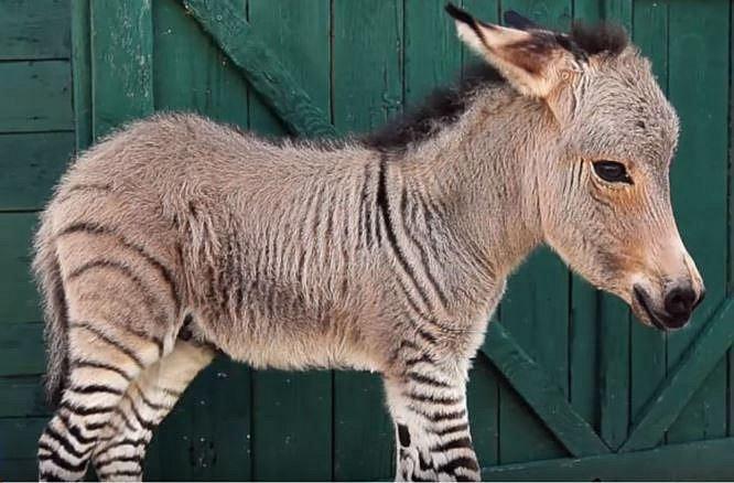 osel/zebra