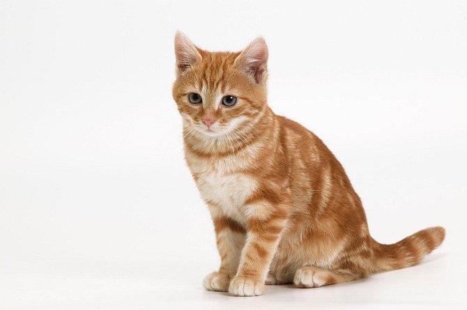 2. Evropská krátkosrstá kočka