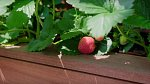 Ačkoli není žádný velký zahrádkář, povedlo se mu vypěstovat pár jahod a bylinek.