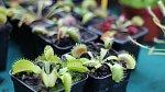 Masožravé rostliny mohou při hubení octomilek pomoct.