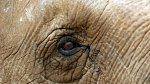 Sloni mají oči malé a moudré.