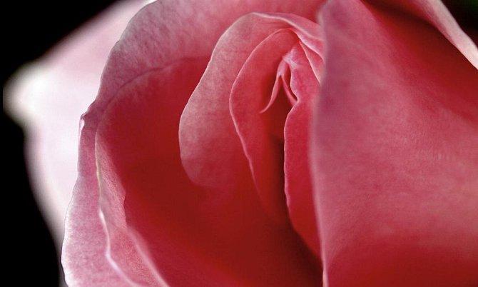 Ilustrační foto - růže