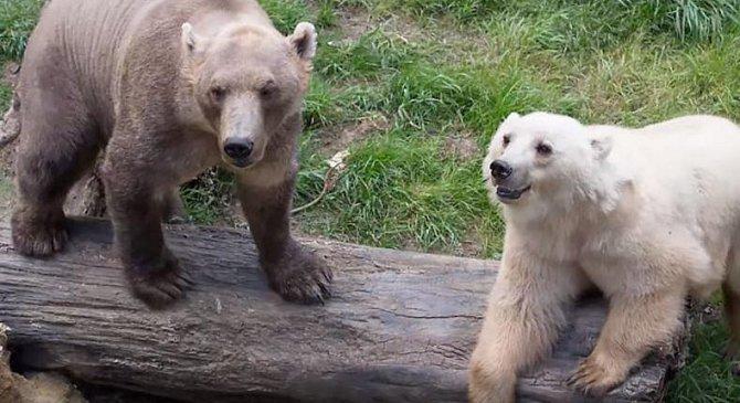 Medvěd lední/medvěd šedý