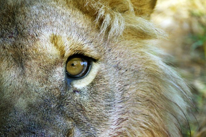 Oko krále zvířat.