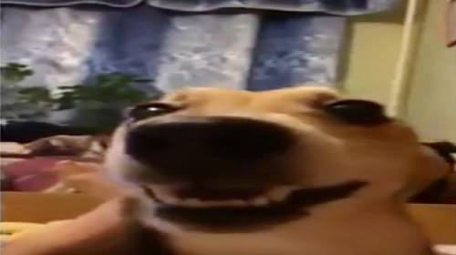 Naštvaný pes